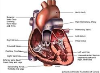 diagram of anatomy of the heart (courtesy of The Heart & Stroke Foundation)